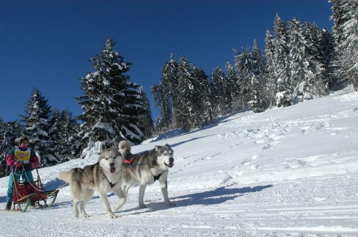 Balades en traîneau à chiens en Alsace (CRTA/Meyer)