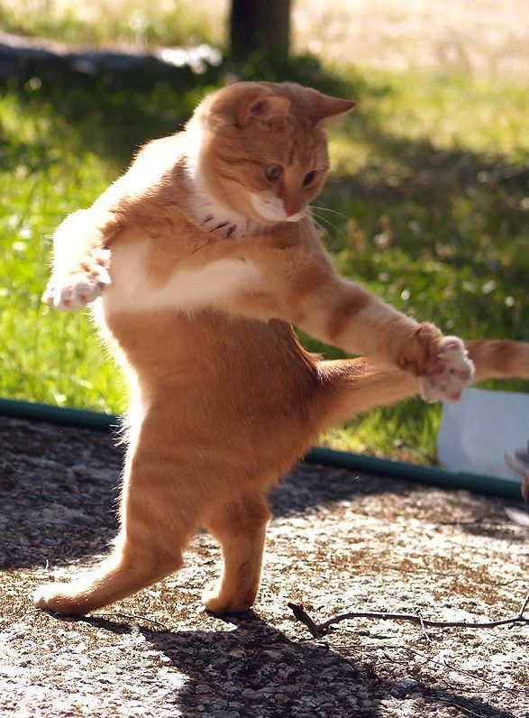 funny dancing fat cat | Cute Cat Pics | Pinterest