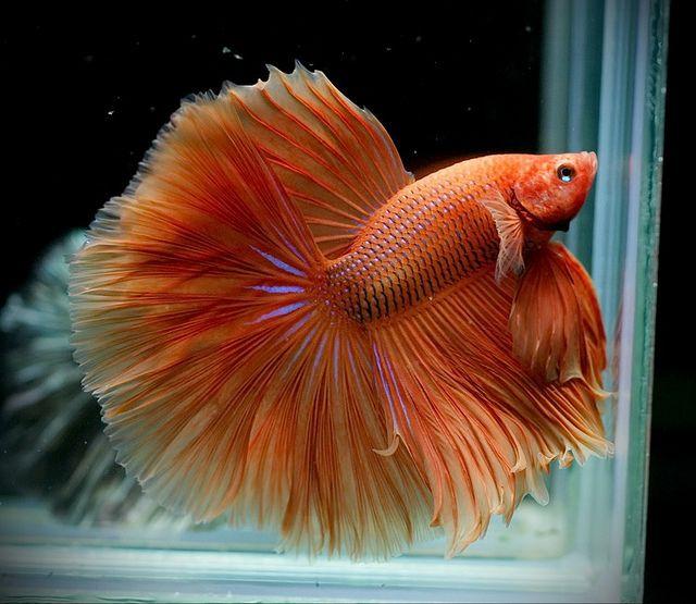 orange betta fish pinterest