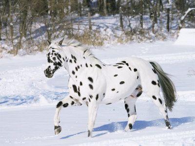 Leopard Appaloosa horse..just beautiful !
