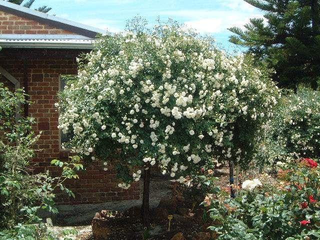Seafoam Rose Tree
