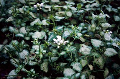 plants for shade Lamium maculatum 'White Nancy' | 407 x 268 · 32 kB · jpeg