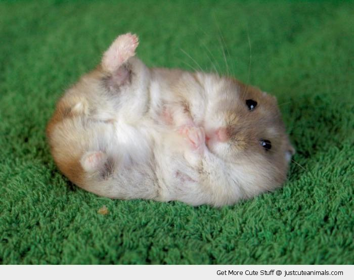 cute little hamsters photos - photo #26
