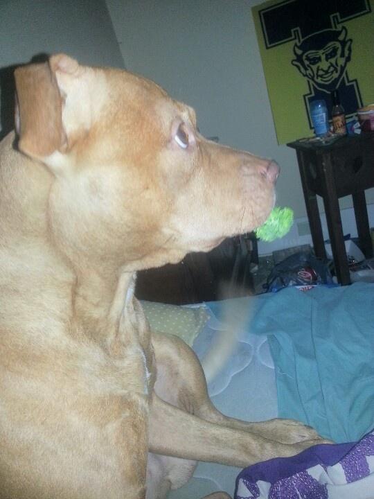 Deuce and his broccli! Pitbull