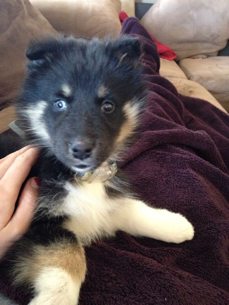 Gerberian Shepsky Puppies For Sale California | Pomsky Puppies Gallery