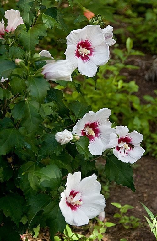 Rose of Sharon bush.... | Gardens | Pinterest