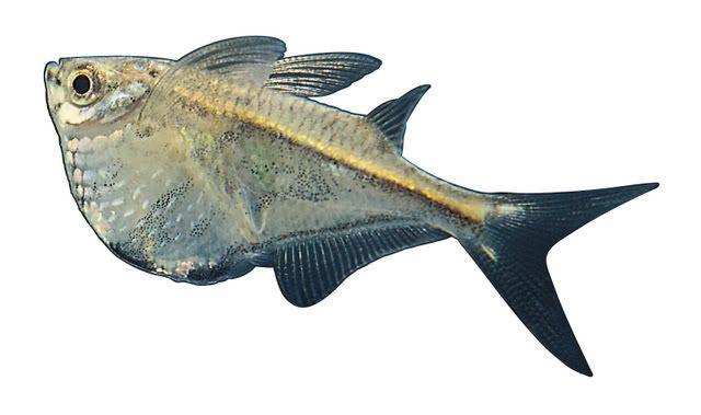 COMMON HATCHETFISH Fresh Water Fish Pinterest