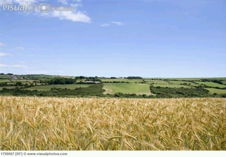 barley fields by nitrok - photo #42