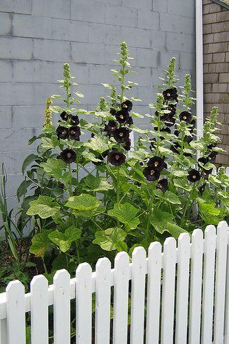 black hollyhock how to grow