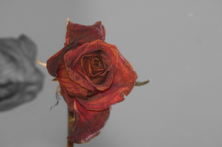 Addition to the rose that I had photographed and uploaded 10 days after the original picture.