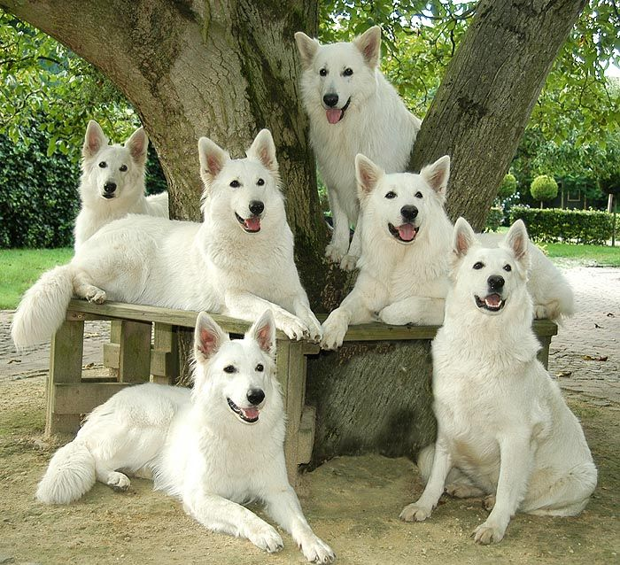 Witte Herder roedel  GSD Doggies  Pinterest