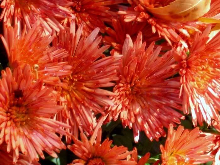 orange mums fall flowers fall my favorite season