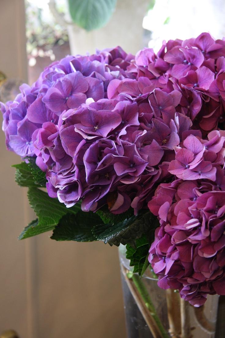 Hydrangea Purple Hydrangeas Pinterest