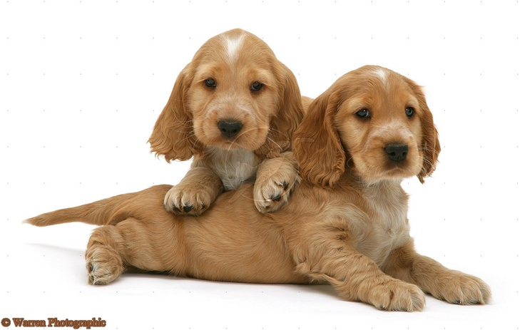Golden Cocker Spaniel puppiesGolden Cocker Puppies