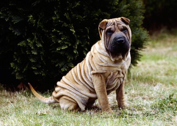 Chinese Shar-Pei | Dogs I Would LIke to Adopt | Pinterest