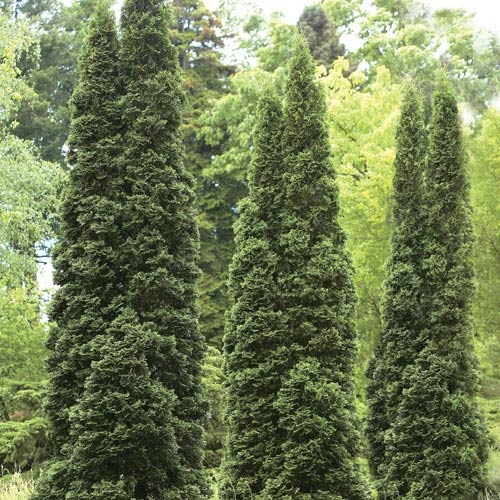 Thuja green giant hedge quick growing plants for privacy Green giant arborvitae