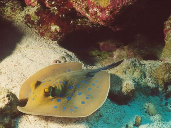 Blue Spotted Stingray My Ocean Pinterest