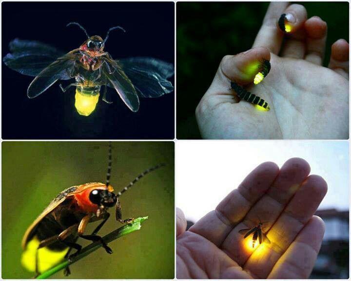 Lightning bug - photo#11