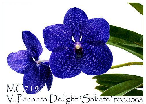 V. Pachara Delight 'Sakate' FCC/JOGA (V.Karaulea x V. Gordon Dillon)