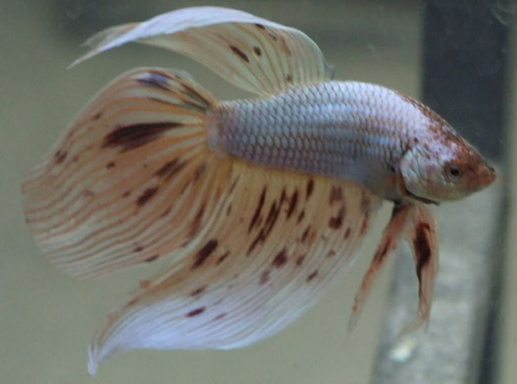 Blue veiltail betta fish the image kid for Male veiltail betta fish