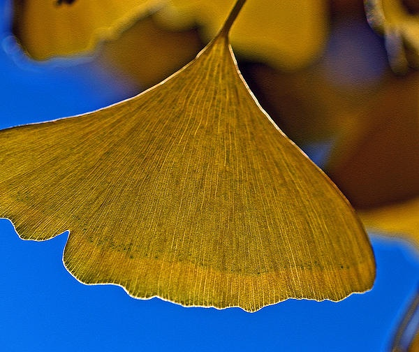 grow gingko tree in container