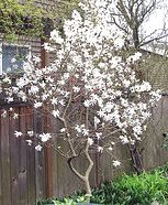 Midwest ornamental trees life outdoors pinterest for Flowering ornamental trees zone 5