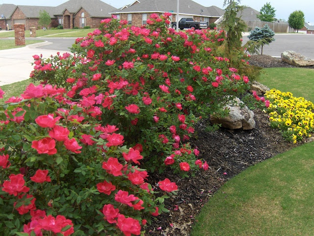 backyard landscaping with knockout roses | tropical landscaping ideas