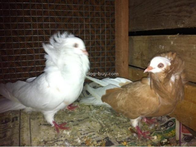 pin fancy pigeons chennai animals on pinterest. Black Bedroom Furniture Sets. Home Design Ideas