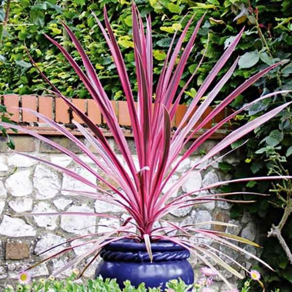 Cordyline Southern Splendour Garden Inspiration Pinterest
