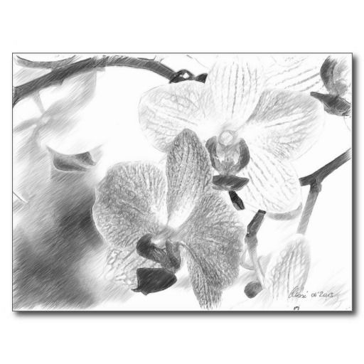 Orchid Pencil Drawing - Postcard