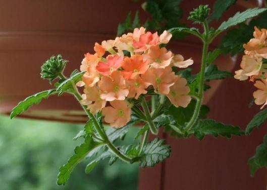 peach verbena...they are such cutie pies...a delicate kind of lacy ...