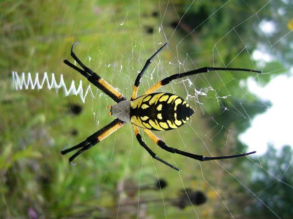 Zipper spider | {Arachnida} | Pinterest Green Garden Spider