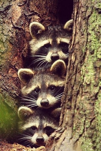 Raccoon family..so cute peeking out!