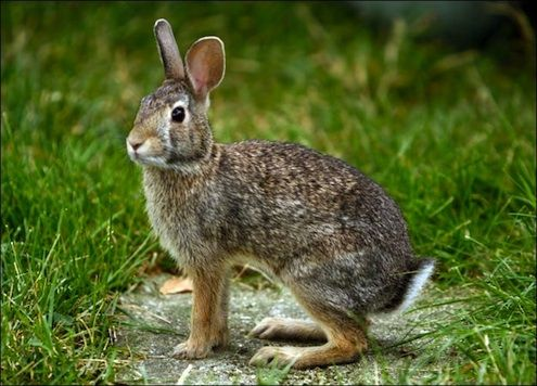 How to keep rabbits out of the garden deer groundhogs - How to keep rabbits out of garden ...