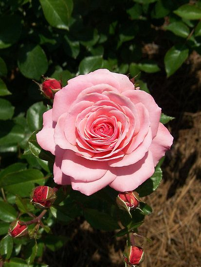 Names of Roses, List of Roses with Beautiful Names