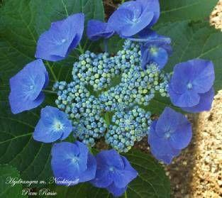 Hydrangea care wedding diys pinterest - Nature curiosity stressed out plants emit animal like signals ...