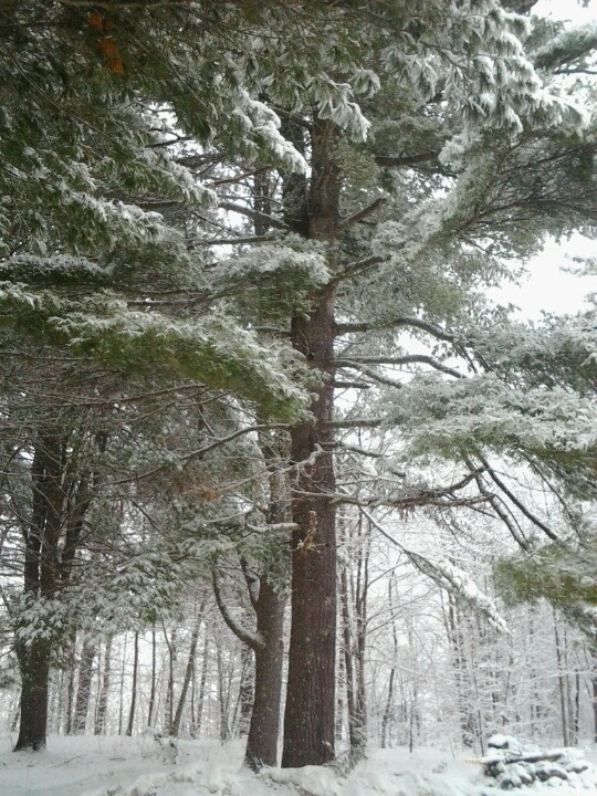Snow on the pines: Maine 2013