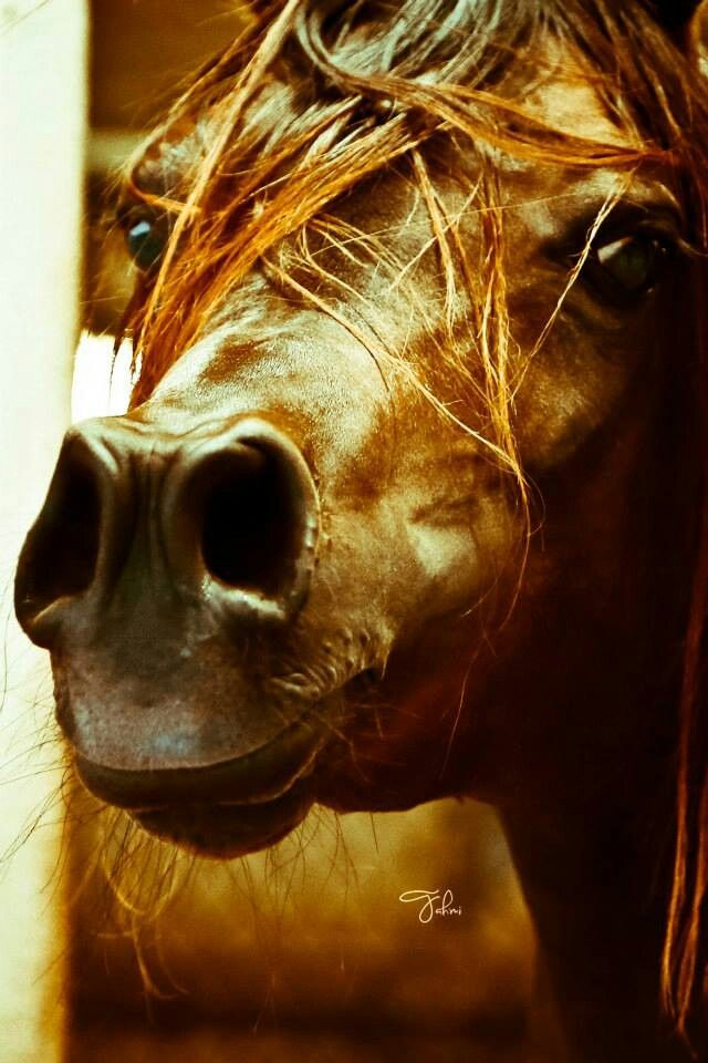Arab muzzle....you could almost touch it