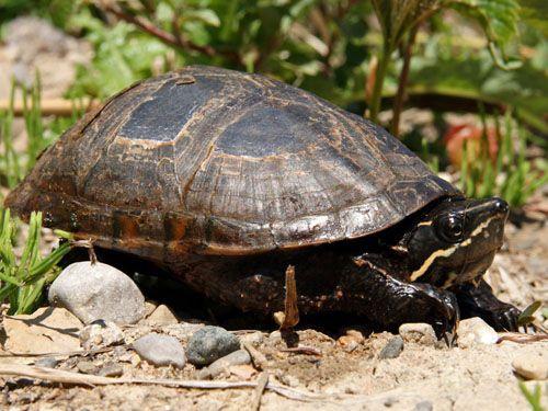 common musk turtle care sheet Turtle Pinterest