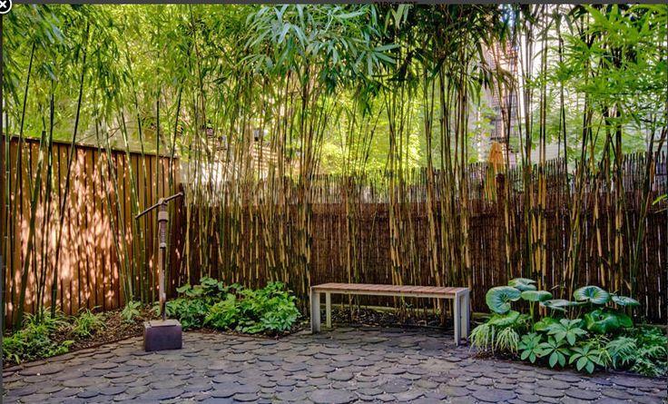 Bamboo trees for backyard Bamboo tree Pinterest