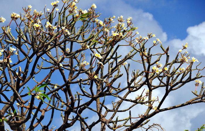 Frangipani Tree Cottage Gardens Pinterest