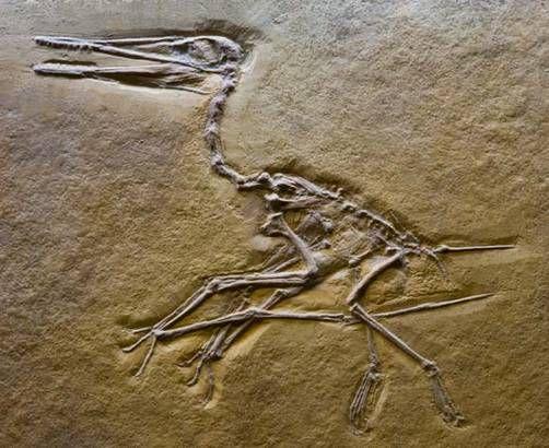 pterodactyl fossilPterodactyl Fossil