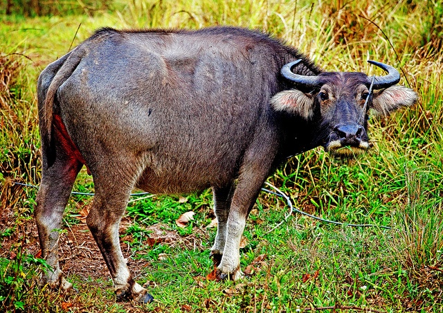 Carabao: The National Animal of Philippines