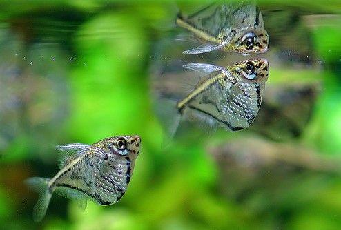 Carnegiella strigata: marbled hatchetfish