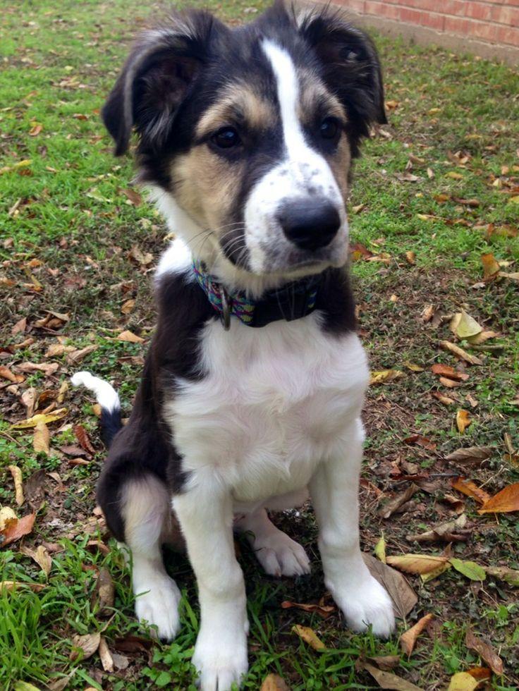 Blue Heeler Border Collie | Dog Breeds Picture