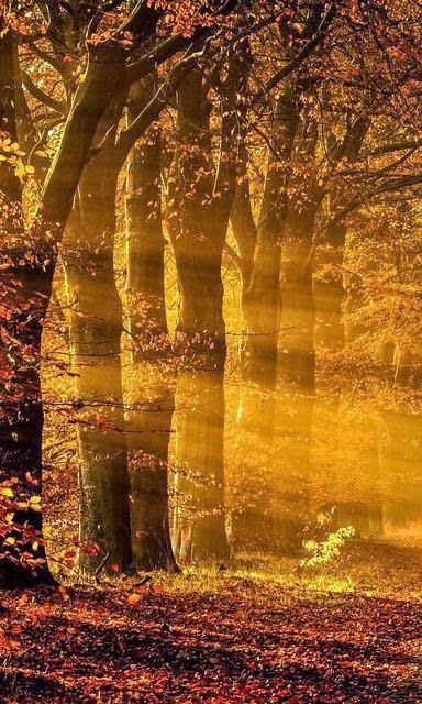 Golden autumn sunshine through the woods - near Gasselte, Drenthe, The Netherlands (by Ron Buist on 500px)