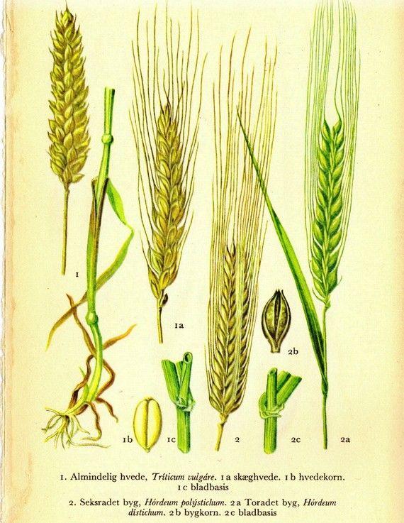 wheat botanical illustrationWheat Botanical Illustration