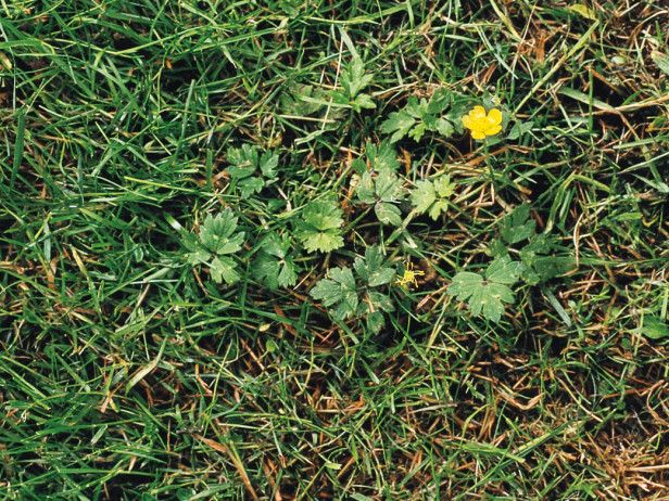 Lawn Weeds Types