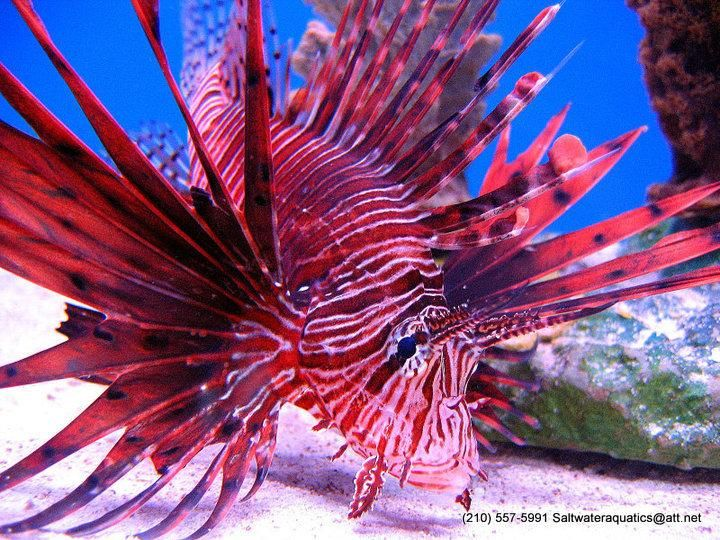 red volitan lionfish salt water fish red fish blue fish