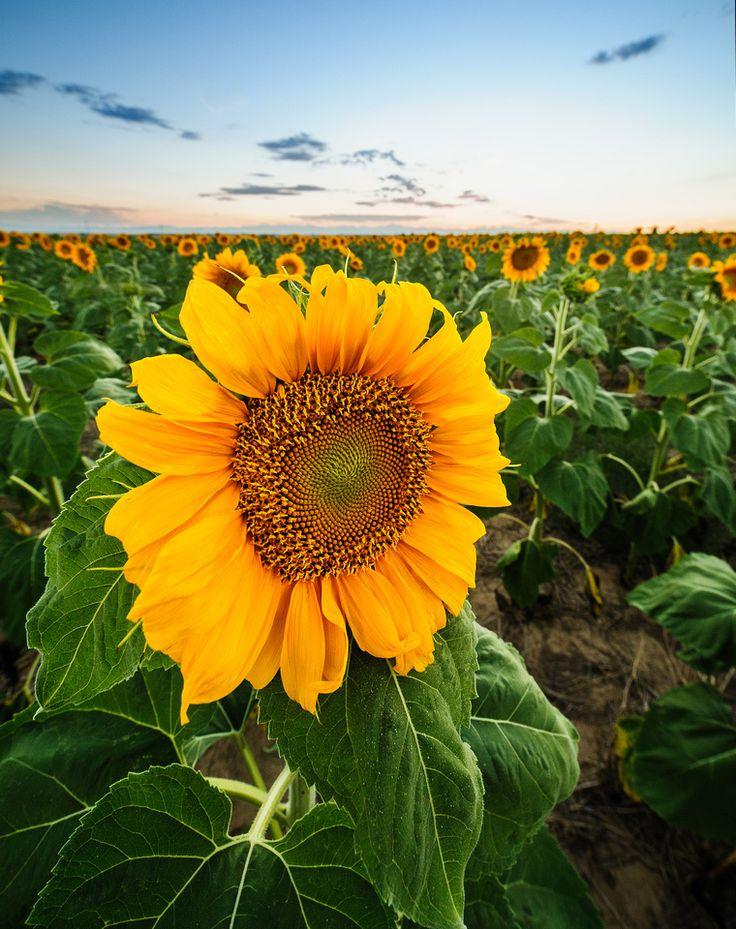 Sunflower Field Sunflowers Pinterest